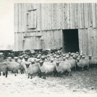 63_SheepAtDustinPlace.jpg